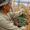 沖縄ゴールデンマンゴーファーム
