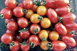 ミニトマト1箱