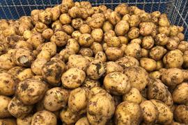 【期間限定】無農薬新ジャガイモ「キタアカリ」 5kg
