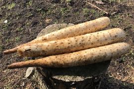 青森県八戸市南郷より 自然農法で育った 長芋1キロ