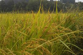 自然農玄米(コシヒカリ) 5kg