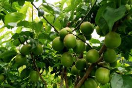 【期間限定】徳島県産 自然栽培の黃梅 / 七折 / Lサイズ / 3kg