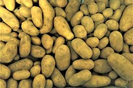 じゃがいも メークイーン 5kg 自然栽培 自家採種