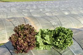 レタス3種食べ比べセット★減農薬栽培