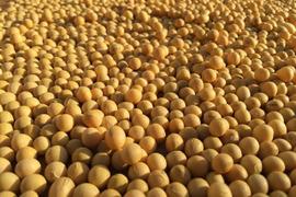 自然農法で大事に育てた大豆1kg
