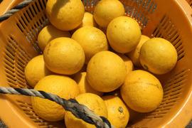もうすぐ終了 無農薬ニューサマーオレンジ 2キロ