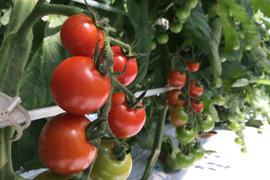 有機ミニトマト【千果】1kg