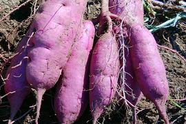 紫いも(パープルスイートロード) 3kg