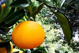 【熱海産♨農薬不使用】樹上甘熟八朔(はっさく)約2kg入り