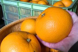 【熱海産♨農薬不使用】樹上甘熟!紅八朔(べにはっさく)約4kg入り