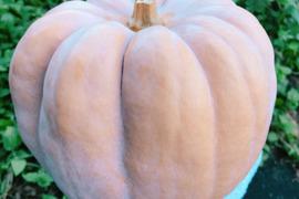 【熱海産♨農薬不使用】 ウリズンブレイク2018 第1弾 『白皮砂糖かぼちゃ』