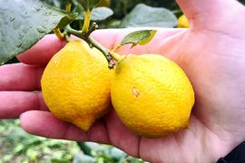 【熱海産♨農薬不使用】日本レモン発祥の地「熱海」ミニレモン約500g