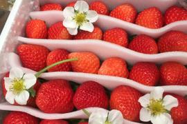 無選別イチゴ 香りあふれる「さがほのか」約900g (3月