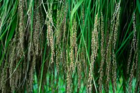 ヒトメボレ 植物性自然栽培米