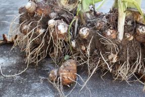 えぐみが少なくねっとりな【肥料・農薬不使用栽培】の里芋(2kg)