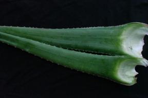 千葉県産 栄養成分が多数含まれるアロエベラ生葉2kg