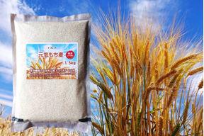 10割もち麦に挑戦 キラリモチ希少品種 1.5kg 令和元年産 愛知県産 農薬・化学肥料不使用