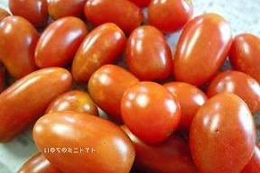 【いのちの野菜】ミニトマト1.5Kg