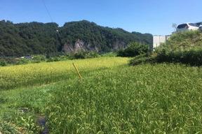 幻の農林48号(うるち米)白米