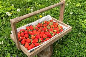 春イチゴ(けんたろう)250g×2パック