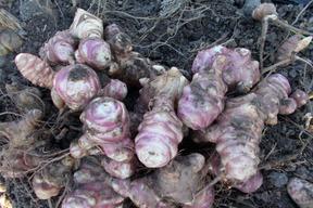 ★無農薬★フランス種 ★紫菊芋 ★土付き2キロ