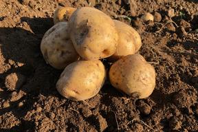 キタアカリ発祥農場のジャガイモ Ⅼサイズ10㎏