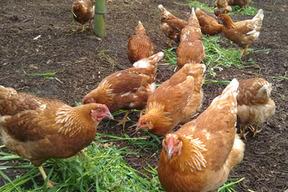 【コッコパラダイス】タマゴソムリエの放し飼い有精卵