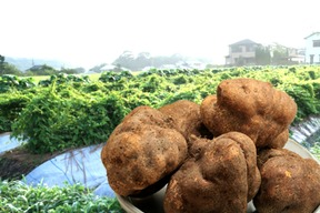 丹波篠山 山の芋2kg(優品)自家用向け 14のレシピ付き