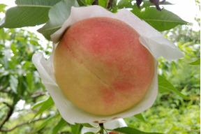 【お中元用熨斗つき】無農薬栽培の「美味しい桃」 / 約12〜15個 / 約4kg