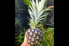【7月より限定販売】パイナップル(島パイン) 小玉 6個セット