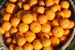 【熊本発・皮ごと食べられる温州みかん】20kg『金の蜜柑』※他サイズあり 予約開始