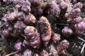 【巷で話題‼️継承の赤菊芋‼️】自然栽培の赤菊芋