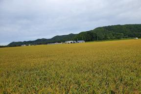 【令和元年度産】 北海道米 ゆきさやか 除草剤1回のみ 5kg (精米)