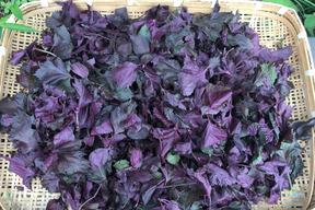 枝付き赤紫蘇1kg