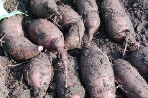 【肥料・農薬不使用栽培】安納芋 2kg