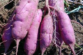 【肥料・農薬不使用栽培】紫いも(パープルスイートロード) 2kg