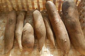 【肥料・農薬不使用栽培】シャキシャキ食感のヤーコン(2kg)