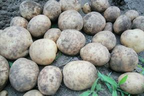 【肥料・農薬不使用栽培】甘みとコクのホクホクじゃが芋*デジマ(1kg)