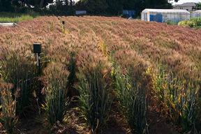 もち麦 ダイシモチ 令和元年産 無農薬、無化学肥料