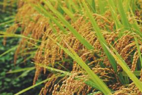《こしひかり》【新米 令和元年収穫】【玄米 10kg】山形県飯豊町下椿産