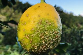 【熱海産♨農薬化学肥料不使用】「熱海レモン2019」B(Bravo)チーム 約2kg