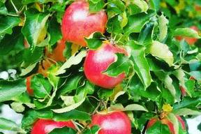 まるで食べるリンゴジュース☆超完熟葉とらず栽培ジョナゴールド✨大玉5kg
