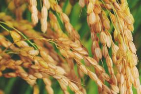《つや姫》【新米 令和元年収穫】【精米5kg】山形県飯豊町産 特別栽培米
