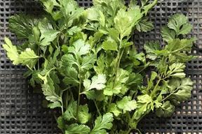 無農薬栽培のパクチー(香菜、コリアンダー)*βカロテン、ビタミンEがたっぷり