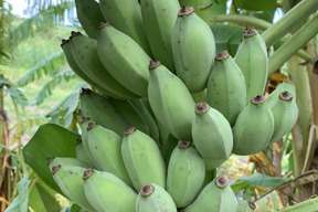 〔自然栽培〕寛尚ファームで採れたバナナ1kg