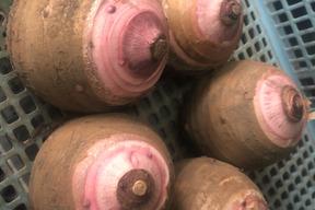 【珍品】 ほっくほく。赤芽里芋の親芋3kg 有機JAS