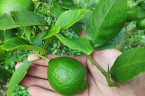 無農薬ミニグリーンレモン1kg