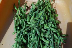 北海道産とよまさり系中粒枝豆(枝つき)