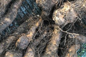 【完売間近‼️お早目に🎶】自然栽培の2年物短径自然薯