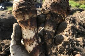 海老芋3kg(有機無農薬栽培)